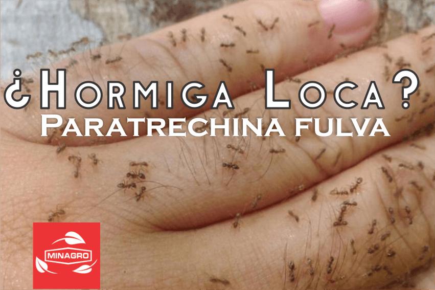 Descripción y control tecnico de la Hormiga Loca