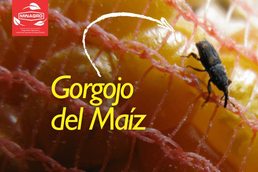 Gorgojo del Maiz