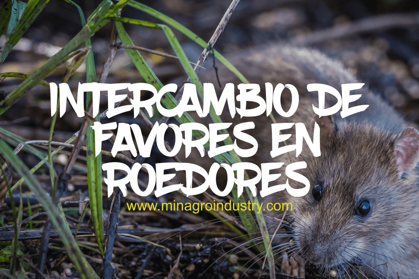 Intercambio de favores en roedores